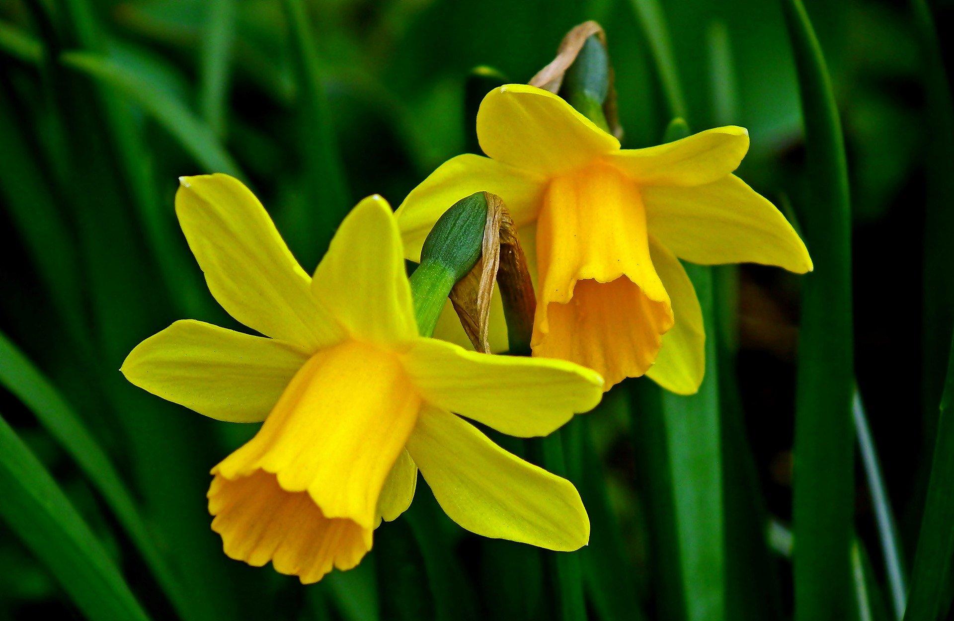 daffodils-4955256_1920